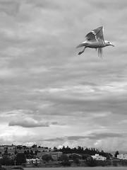 IMG_8900.bwmed (DanaStyber) Tags: blackandwhitephotography seagull bird wildlife dock monochrome oakharborwa hillside bluff citybeach iphone7 windjamerparkcitypark flight wings takeoff clouds landscape nature