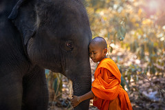 Novices or monks hug elephants. Novice Thai standing and big elephant with forest background. , Tha Tum District, Surin, Thailand. (pomp_jaideaw) Tags: monk buddhist novice people myanmar red young asian religion umbrella temple buddhism buddha burma bagan male culture kid little asia religious monastery person outdoor traditional tradition prayer boys burmese two travel man reading mandalay ethnic children faith southeast tree elephant spread learning green summer education rural tranquil morning belief lesson hug
