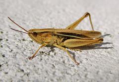 Lesser Marsh Grasshopper (Chorthippus albomarginatus) (johnlauper) Tags: insect grasshopper nature wildlife closeup macro