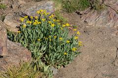 Senecio pyrenaycus subps. granatensis (Boiss.) Rivas Mart.