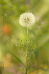 Summer Meadow... (KissThePixel) Tags: summerdays summermeadow meadow summer sunlight light bokeh bokehlicious nikon july green dandelion seedhead dreamy dof dreamingoflight dreamybokeh macro makro nature cottagegarden nikondf df 70200mm f28 sigma sigmamacro
