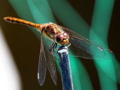Common Darter (Nevrimski) Tags: common darter dragonfly