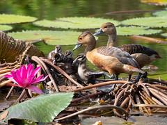 P7040740 (gprana) Tags: bird duck em5 gardensbythebay lesserwhistlingduck marinabay micro43 microfourthirds olympus olympusomdem5 singapore wildlife m43