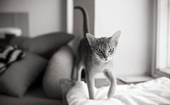 Infinite Opal (peter_hasselbom) Tags: cat cats abyssinian female mother walking approach window windowsill bw blackandwhite 50mm grain vignette blue
