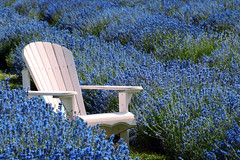 White Adirondack (emerge13) Tags: lavenderfields lavande flowerfields flowers floweryfield steustachequébec quebec countryside adirondackchairs chairs nature tcp saariysqualitypictures