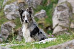 Cabane d'Eychelle (Ariège) (PierreG_09) Tags: ariège pyrénées pirineos couserans bethmale occitanie midipyrénées montagne eychelle cabane cabanedeychelle faune chien