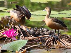 P7040726 (gprana) Tags: bird duck em5 gardensbythebay lesserwhistlingduck marinabay micro43 microfourthirds olympus olympusomdem5 singapore wildlife m43