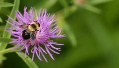 not a bumblebee! (chasdobie) Tags: insect macro fly flower nature outdoor lanarkcounty ontario canada nikon rural