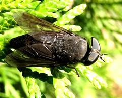 Jul9,2019 DSC08916 Black Horse Fly (terrygray) Tags: horsefly