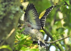 Goldfinch (grahamhicks52) Tags: yellow wings take off