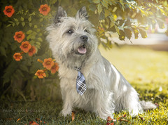 Cairn Terrier (Fabi's Photography) Tags: chien dog cairn terrier