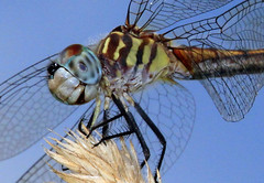 Pretty...scary (Jen_Vee) Tags: dragonfly insects closeup flash meadow grass summer flies wings veins barbed predator large blue green yellow brown striped nature