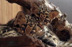 clouded leopard Ouwehand 094A1224 (j.a.kok) Tags: animal asia azie cat kat leopard luipaard predator panther panter nevelpanter neofelisnebulosa cloudedleopard cub kitten luipaardwelp leopardcub zoogdier dier mammal ouwehands ouwehandsdierenpark