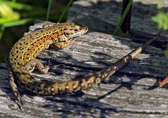 Waldeidechse (Zootoca vivipara)_01 (robert.sendelbach) Tags: waldeidechse viviparous lizard zootoca vivipara