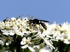 Digger Wasp 16.7.19 (ericy202) Tags: digger wasp blue sky umbellifer