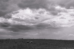 Stragglers (K.R. Alexander) Tags: farm sheep clouds cloudscape farmlandscape southernalberta nikon810 landscapes ruralalberta countryside