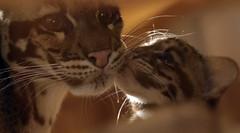 clouded leopard Ouwehand 094A1040 (j.a.kok) Tags: animal asia azie cat kat leopard luipaard predator panther panter nevelpanter neofelisnebulosa cloudedleopard cub kitten luipaardwelp leopardcub zoogdier dier mammal ouwehands ouwehandsdierenpark