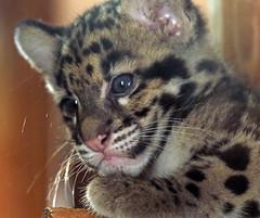 clouded leopard Ouwehand 094A1283 (j.a.kok) Tags: animal asia azie cat kat leopard luipaard predator panther panter nevelpanter neofelisnebulosa cloudedleopard cub kitten luipaardwelp leopardcub zoogdier dier mammal ouwehands ouwehandsdierenpark