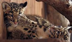 clouded leopard Ouwehand 094A1321 (j.a.kok) Tags: animal asia azie cat kat leopard luipaard predator panther panter nevelpanter neofelisnebulosa cloudedleopard cub kitten luipaardwelp leopardcub zoogdier dier mammal ouwehands ouwehandsdierenpark