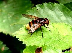 Volucela zonaria 14.7.19 (ericy202) Tags: hoverfly volucela zonaria leaf holkham nnr