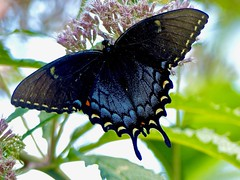 Dark Morph Swallowtail (WRFred) Tags: butterfly insect swallowtail nature backyardwildlife wildlife maryland montgomerycounty