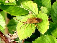 Box Bug 16.7.19 (ericy202) Tags: box bug bramble leaf titchwell rspb gonocerus acuteangulatus