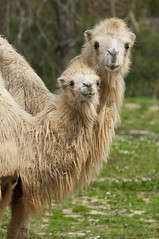 Camelus bactrianus - Bactrian camel (Going to the Zoo with Trebaruna) Tags: collevalenzafattoriadidattica collevalenzazoo collevalenza zoo zooanimal animal italy italia 02042019 2019 leowildpark