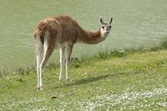Lama goeanico - Guanaco (Going to the Zoo with Trebaruna) Tags: collevalenzafattoriadidattica collevalenzazoo collevalenza zoo zooanimal animal italy italia 02042019 2019 leowildpark