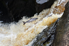 Silver (etienne65) Tags: nikon nature donegal d500 wildlife water waves river rocher riviere ireland irlande poisson fish