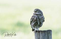 Steenuil / Little Owl / Athene noctua / Steinkauz! (Jambo53 ()) Tags: steenuil crobertkok littleowl steinkauz athenenoctua nikond500 f10 iso640