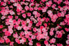 Blurry and Pink (Jim Frazier) Tags: 2019 20190712cantigny 2019cantigny abstract background beddingplant bloom blooming blossoming blossoms bluesky blurred botanic botanicgardens botanicalgardens canoes cantigny cantignypark carpet colorfield curtain desktop dupage dupagecounty fieldtrip flora floral flowering flowers forbs gardening gardens horticulture il illinois intentionallyblurred jimfraziercom july middaylight museums nature parks photowalk pink plants powerpoint preserves publicgardens q2 summer sunny visitorcenter volunteer volunteering wall wallpaper wheaton