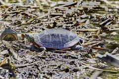 Surprise (chauvin.bill) Tags: luminar312 tamron snappingturtle paintedturtle