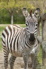 Equus quagga boehmi - Grant's Zebra (Going to the Zoo with Trebaruna) Tags: collevalenzafattoriadidattica collevalenzazoo collevalenza zoo zooanimal animal italy italia 02042019 2019 leowildpark