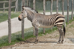 Equus zebra hartmannae - Hartmann's Mountain Zebra (Going to the Zoo with Trebaruna) Tags: collevalenzafattoriadidattica collevalenzazoo collevalenza zoo zooanimal animal italy italia 02042019 2019 leowildpark