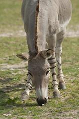 Equus africanus somalicus - Somali Wild Ass (Going to the Zoo with Trebaruna) Tags: collevalenzafattoriadidattica collevalenzazoo collevalenza zoo zooanimal animal italy italia 02042019 2019 leowildpark