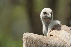Gyps himalayensis - Himalayan vulture (Going to the Zoo with Trebaruna) Tags: collevalenzafattoriadidattica collevalenzazoo collevalenza zoo zooanimal animal italy italia 02042019 2019 leowildpark