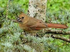 ~Juvenile Northern Cardinal~ (RitaK.) Tags: bird birding avian birdwatching wildbird northerncardinal juvenilenortherncardinal feathers nature nikon summer