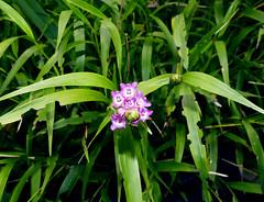 Elleanthus amethystinus species orchid 5-19 (nolehace) Tags: flower bloom plant elleanthus amethystinus species orchid 519 summer nolehace sanfrancisco fz1000