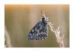 Schachbrettfalter IV (Marcus Hellwig) Tags: schachbrettfalter schmetterling melanargiagalathea makro gegenlicht detail falter butterfly minimalismus