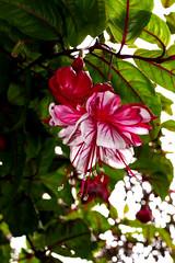 fuchsia in the garden 5-19 (nolehace) Tags: flower bloom plant fuchsia garden 519 summer nolehace sanfrancisco fz1000