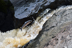 (etienne65) Tags: nikon nature donegal d500 wildlife water waves river rocher riviere ireland irlande poisson fish