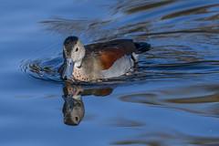 ringed teal (madziulka_a) Tags: ringedteal poland wildlife nikon d850 nikkor 200500mm bird duck cudokaczka