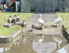 20190716 Swans with Nine Cygnets (rona.h) Tags: ronah 2019 july shropshireunioncanal swans marketdrayton