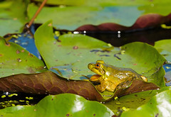 The Mouthy Frog (WhiteEye2) Tags: bullfrog mouth frog wildlife nature ct connecticut