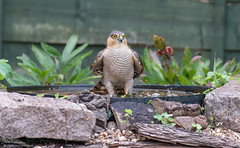 Nature can be cruel (Steve (Hooky) Waddingham) Tags: animal countryside bird british nature prey hawk sparrow wild wildlife bath