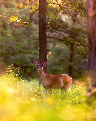 Young Buck (Daniel000000) Tags: buck deer spike antlers woods forest trees bokeh nikon d850 wildlife new old green yellow evening park schmeeckle reserve stevens point wisconsin wi art nature landscape