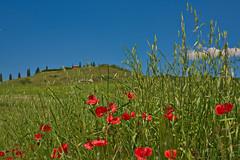 Poppies (pstenzel71) Tags: italien flower tuscany poppy toscana landschaft toskana cretesenesi mohnblüte leonina darktable