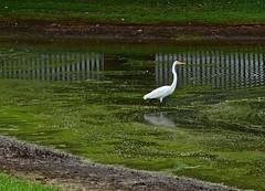 Great Egret (deanrr) Tags: egret bird nature outdoor morgancountyalabama alabama lake reflections fence water greategret whitebird