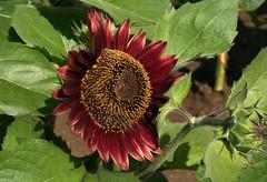 Dark Beauty (Wolfgang Bazer) Tags: sonnenblume sunflower helianthus annuus gewöhnliche common blüte flower blossom botanischer garten wien vienna österreich austria