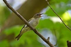 Red-eyed Vireo (kevinwg) Tags: redeyed vireo redeyedvireo bird tree woods